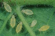 Myzocallis coryli : larves
