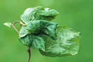 Myzocallis coryli : dégât sur noisetier