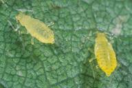 Myzocallis walshii : nymphe stade 4