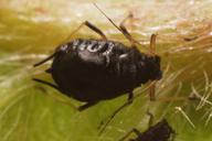 Myzus cerasi : adulte aptère
