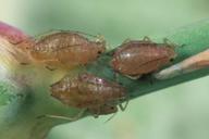 Myzus certus : adultes aptères