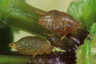 Myzus langei : adultes aptères