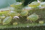 Myzus lythri : colonie