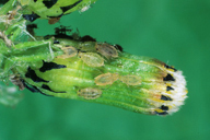 Myzus ornatus : colonie