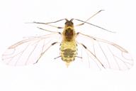 Myzus persicae : habitus adulte ailé