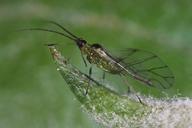 Ovatus crataegarius : adulte ailé