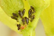Periphyllus testudinaceus : colonie de printemps