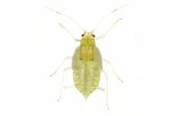 Phorodon humuli : nymphe