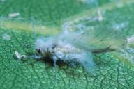 Phyllaphis fagi : adulte ailé