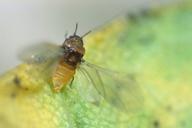 Phylloxera spp : ailé