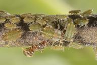 Pterocomma pilosum : colonie visitée par une fourmi