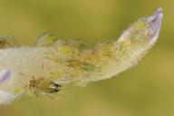 Rhopalosiphoninus latysiphon : colonie
