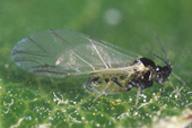 Rhopalosiphum insertum : adulte ailé
