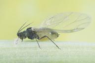 Rhopalosiphum maidis : adulte ailé
