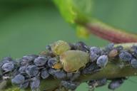 Rhopalosiphum padi : fondatrice sur Prunus padus
