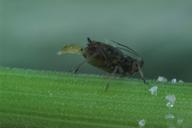 Rhopalosiphum padi : larviposition