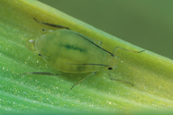 Schizaphis graminum : adulte aptère