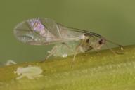 Schizaphis graminum : adulte ailé