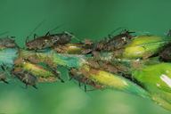 Sitobion avenae : colonie