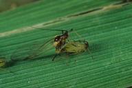 Sitobion avenae : accouplement, mâle ailé et ovipare aptère
