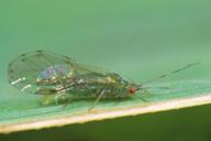 Takecallis taiwanus : adulte ailé