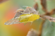 Therioaphis brachytricha : adulte ailé