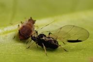 Toxoptera aurantii :adulte ailé