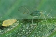 Tuberculatus annulatus : N4 et adulte ailé