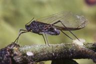 Tuberolachnus salignus : adulte ailé