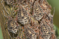 Tuberolachnus salignus : colonie