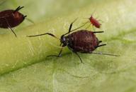 Uroleucon taraxaci : adulte aptère
