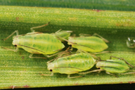 Utamphorophora humboldti : colonie
