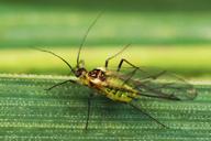 Utamphorophora humboldti : adulte ailé