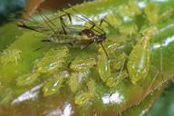 Wahlgreniella arbuti : colonie