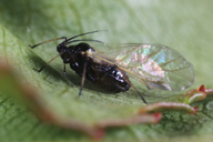 Brachycaudus schwartzi : adulte ailé