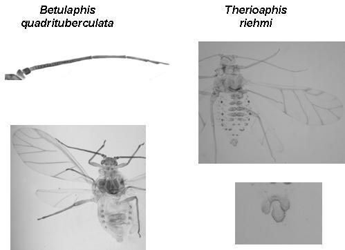 Myzocallidinae