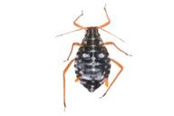 Pterocomma salicis : adulte aptère