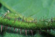 Corylobium avellanae : adultes aptères