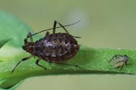 Megourella purpurea : adulte apère