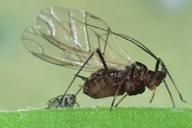 Megourella purpurea : adulte ailé