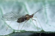 Microlophium carnosum : adulte ailé