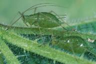 Microlophium carnosum : adulte aptère