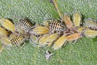 Panaphis juglandis : colonie