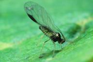 Periphyllus testudinaceus : adulte ailé