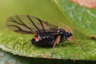 Pterocomma salicis : adulte ailé
