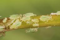 Schizaphis graminum : colonie