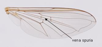 Episyrphus balteatus : détail de l'aile