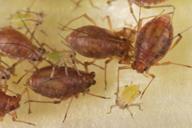 Myzus cymbalariae : colonie