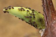 Myzus cymbalariae : colonie sur germe d'oignon