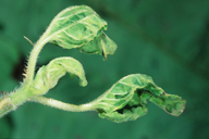 Brachycaudus helichrysi : dégât sur tournesol